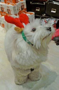 Puppy wearing Christmas Reindeer Hat