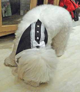 Puppy at Christmas, wearing a tuxedo
