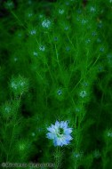 Love in a Mist in Provence
