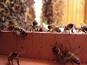 Bees 1582_small